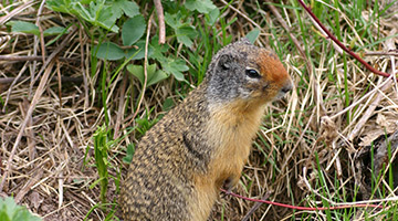 columbian squirrel