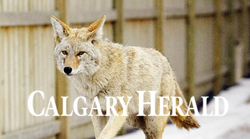 Coyotes will flourish, amphibians will die off in hotter, drier Alberta