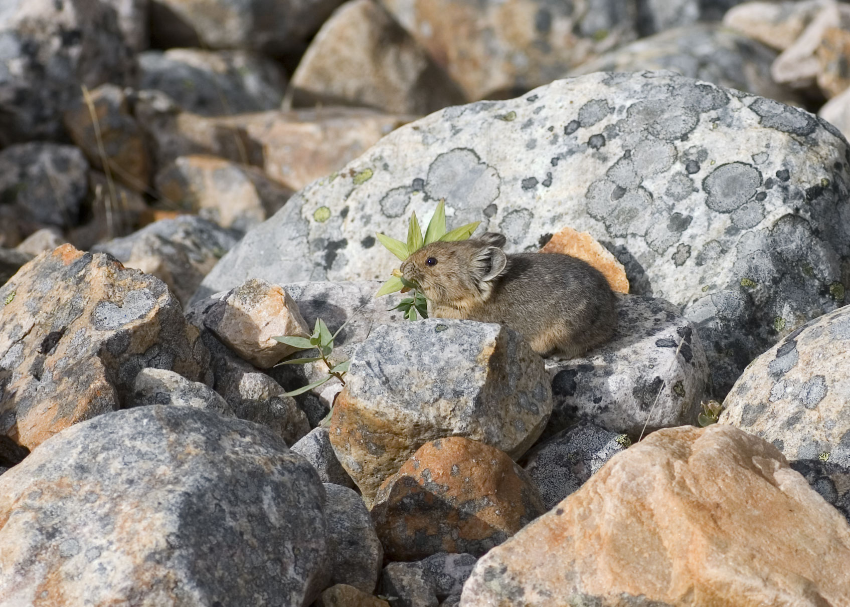 Pikas may face less warming threat